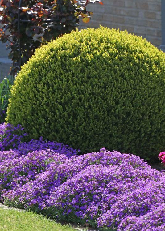 Buchsbaum (Kugel)