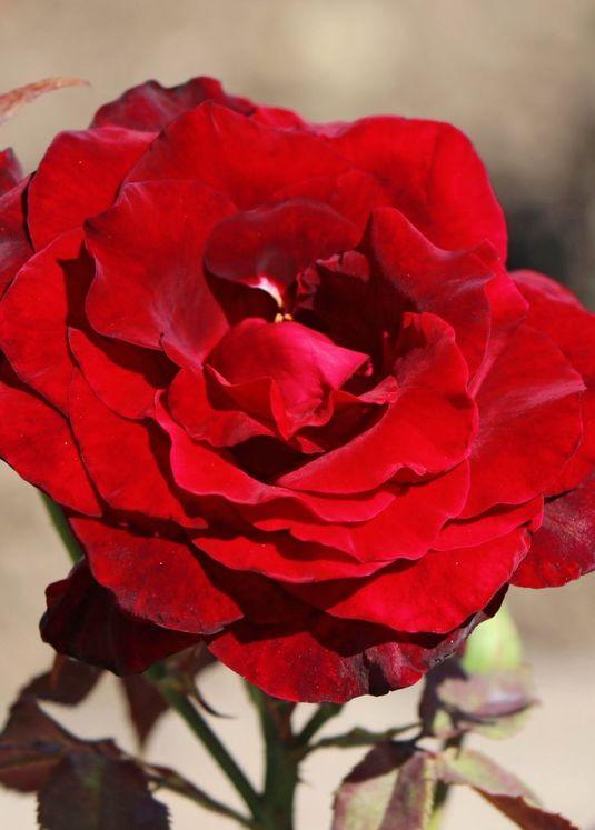 Edelrose Black Lady' ®