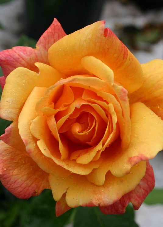 Edelrose 'Sutter's Gold'