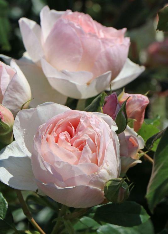 Englische Rose 'Heritage' ®