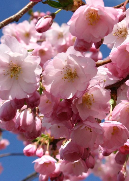 Frühlingskirsche / Frühe Zierkirsche 'Accolade'