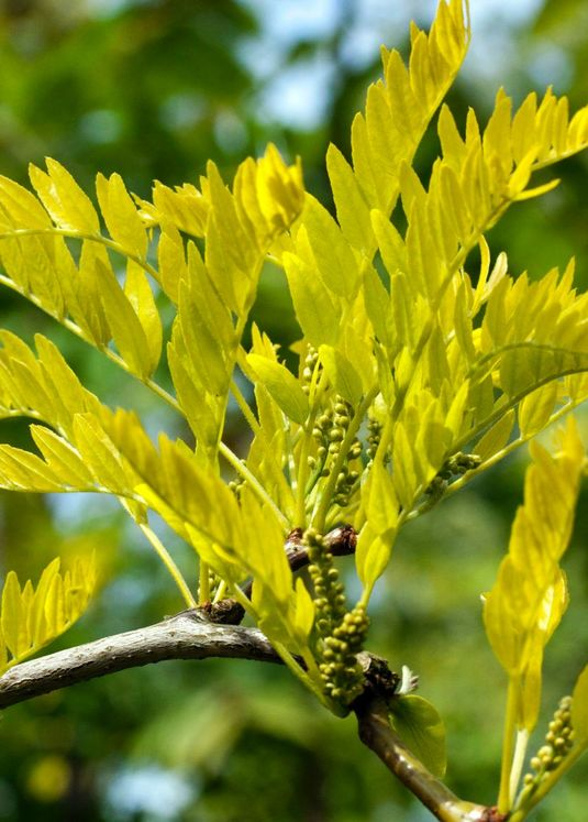 Amerikanische Gleditschie / Gold-Gleditschie 'Sunburst'