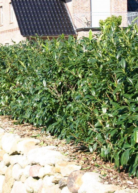Großblättriger Kirschlorbeer / Lorbeerkirsche 'Schipkaensis Macrophylla'