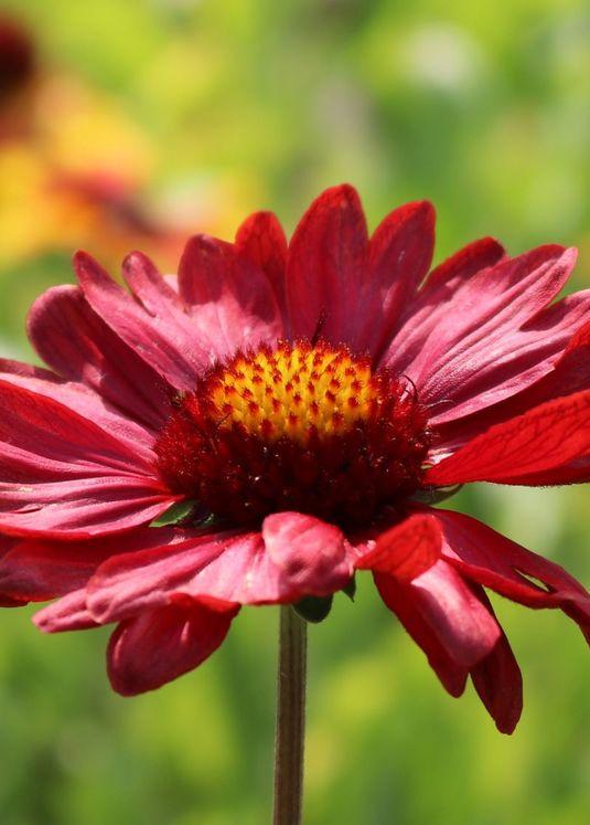 Großblumige Kokardenblume 'Burgunder'