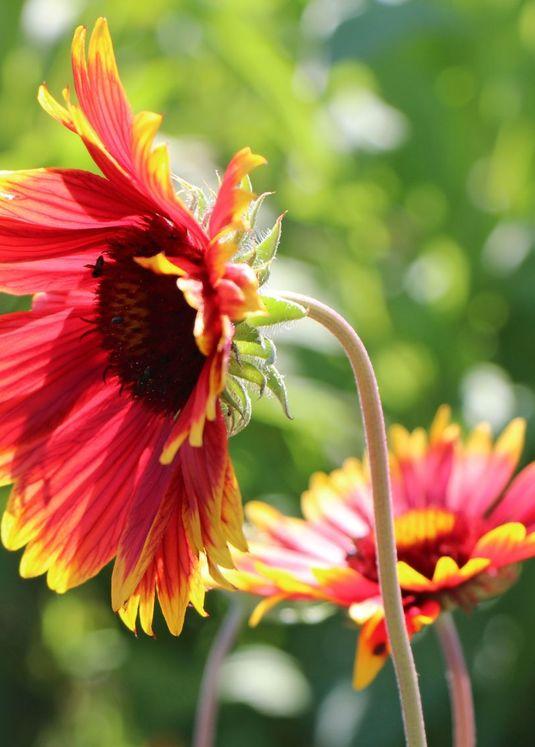 Großblumige Kokardenblume 'Fackelschein'