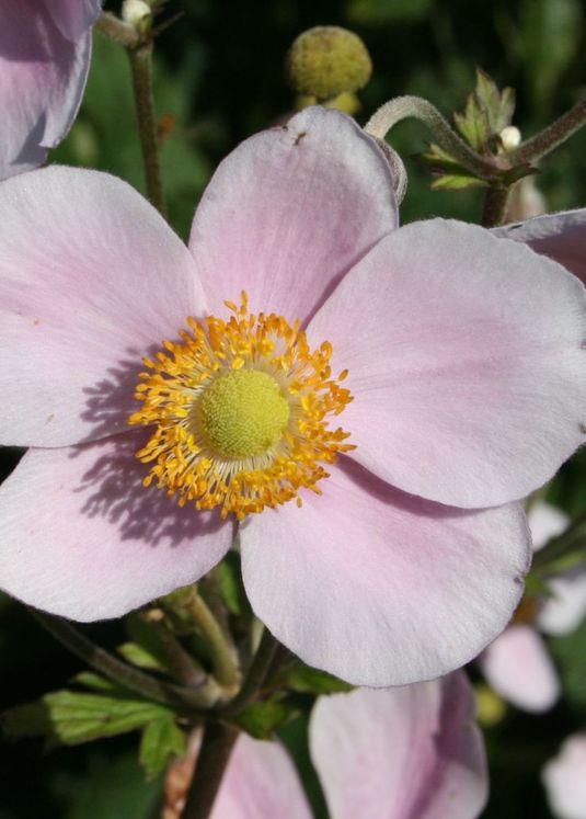 Filzige Herbst-Anemone 'Robustissima'