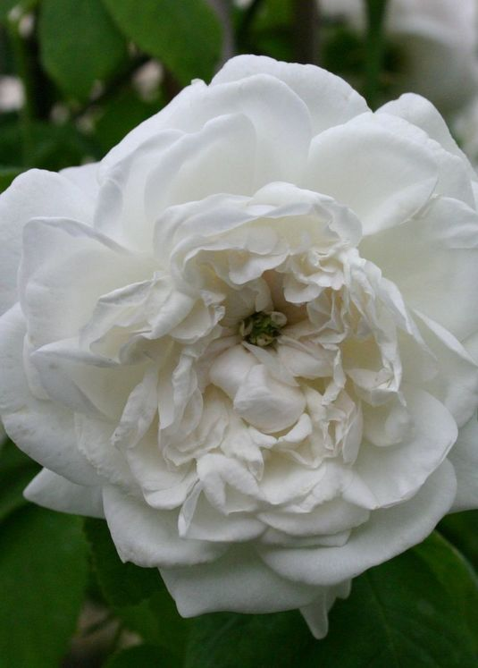 Historische Rose 'Mme Hardy'