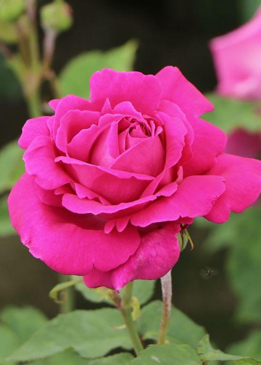 Historische Rose 'Mme Isaac Pereire'