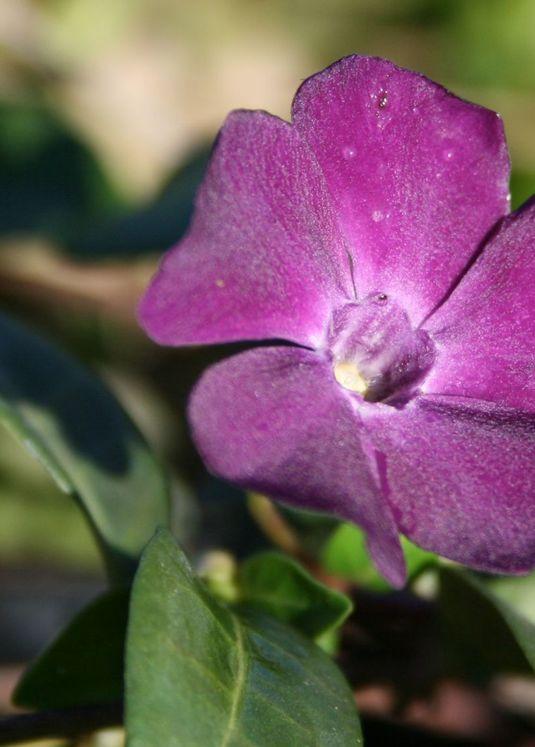 Immergrün 'Rubra' / 'Atropurpurea'
