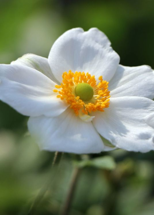 Japan-Herbst-Anemone 'Honorine Jobert'