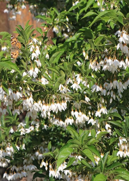 Japanischer Storaxbaum / Japanischer Schneeglöckchenbaum