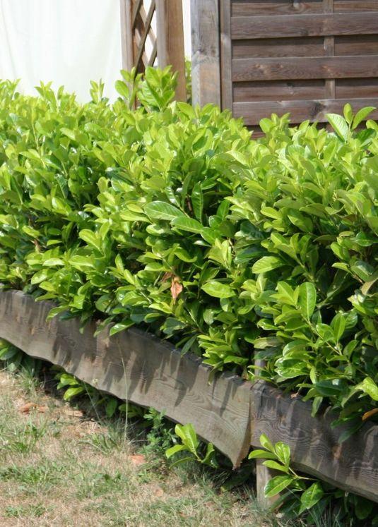 Kirschlorbeer / Lorbeerkirsche 'Rotundifolia'