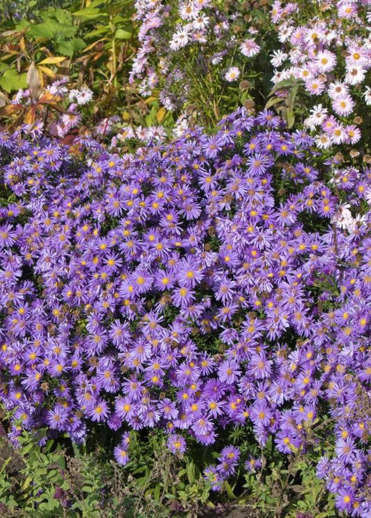 Kissen-Aster 'Blaue Lagune'