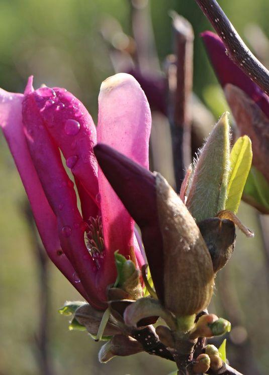 Purpur-Magnolie 'Susan'