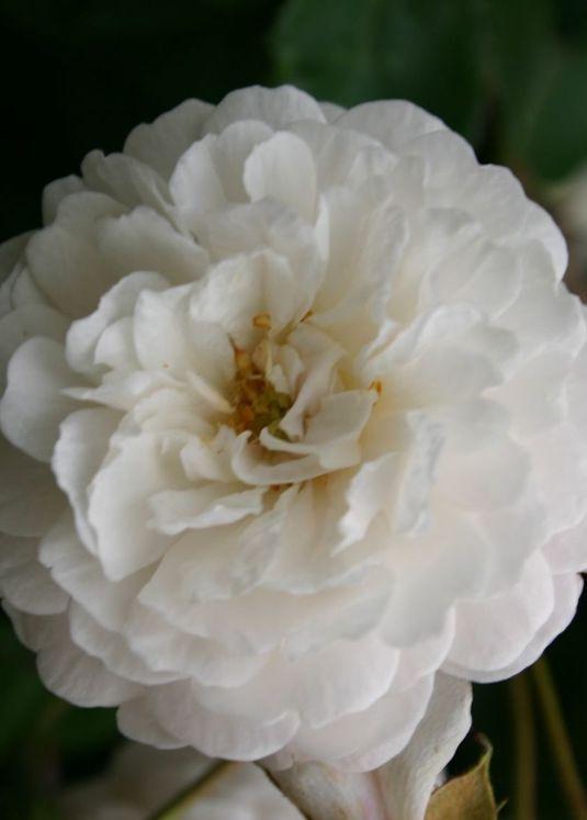 Ramblerrose 'Felicite et Perpetue'