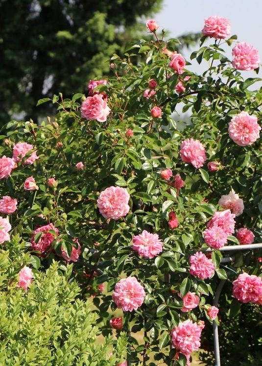 Ramblerrose 'Paul Noel'