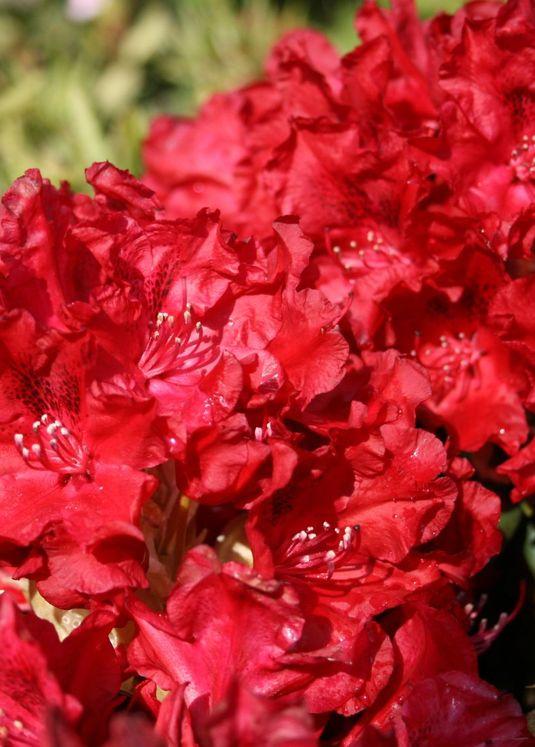 Rhododendron 'Erato' (S)