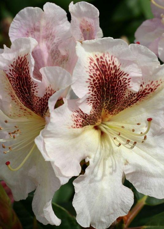 Rhododendron 'Extraordinaire'
