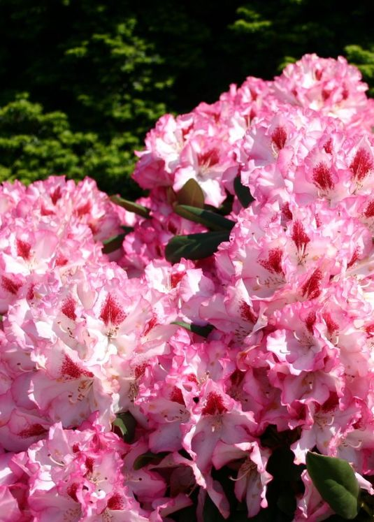 Rhododendron 'Hachmann's Charmant' (S)