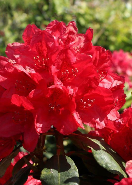 Rhododendron 'Hachmann's Feuerschein' (S)