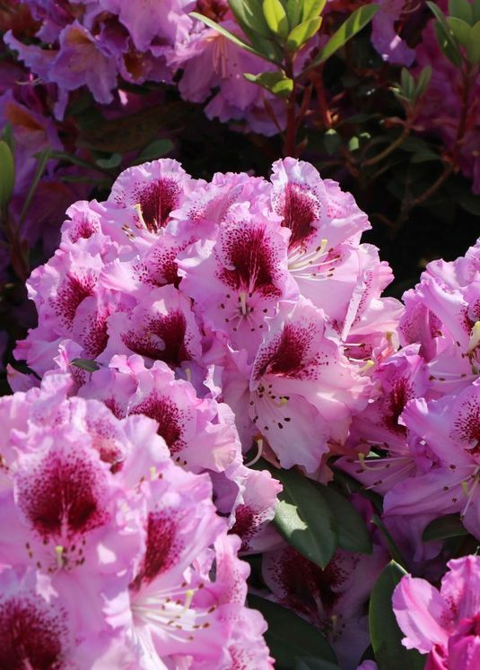 Rhododendron 'Pfauenauge' ®