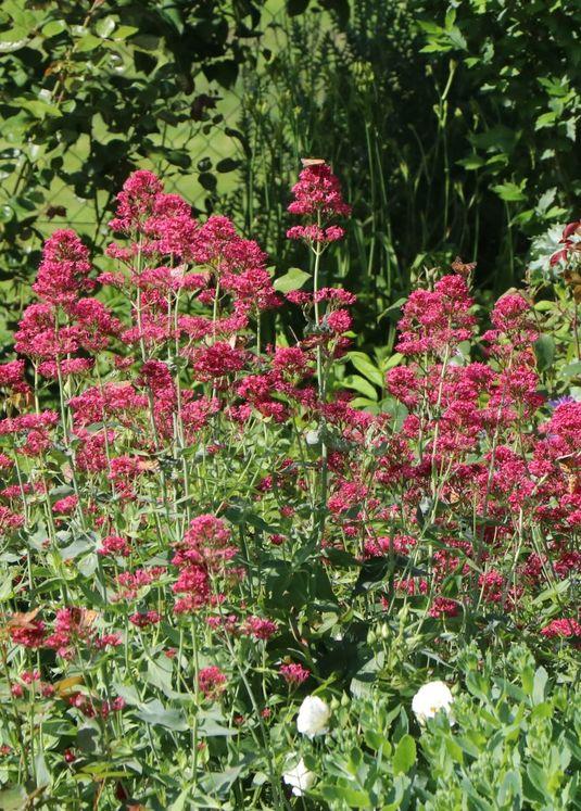 Rotblühende Spornblume 'Coccineus'