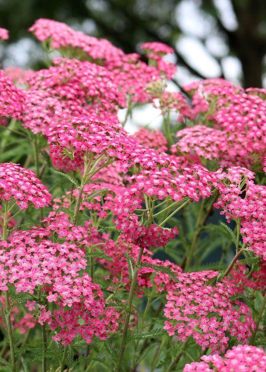 Schafgarbe 'Lilac Beauty'
