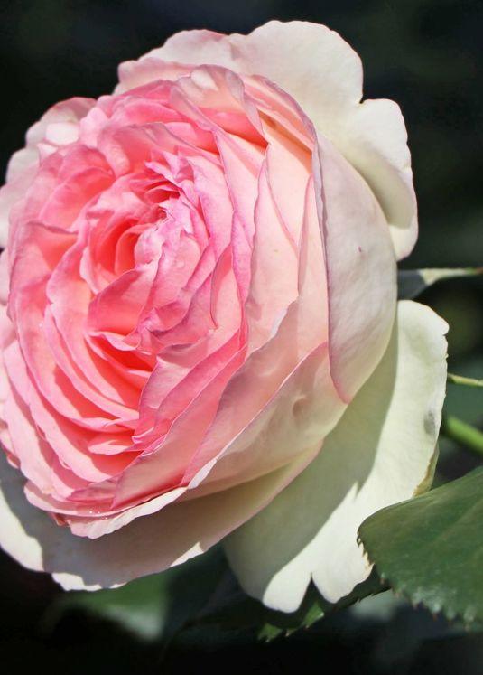 Strauchrose 'Eden Rose 85' ®