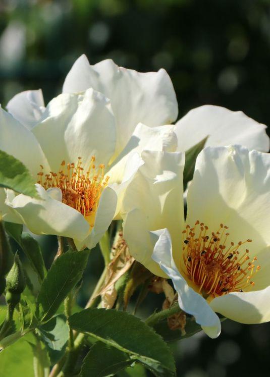 Strauchrose 'Golden Wings'