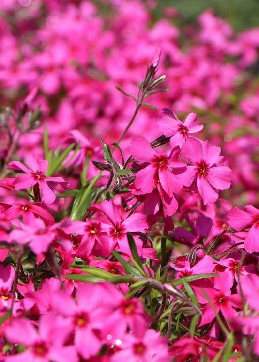 Teppich-Flammenblume 'Atropurpurea'