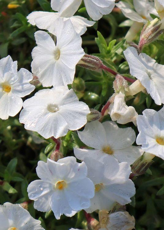 Teppich-Flammenblume 'White Delight'
