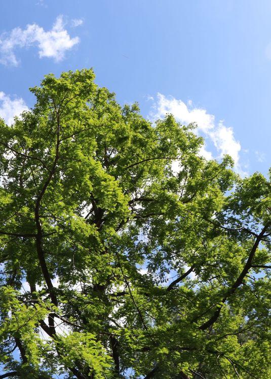 Urwelt-Mammutbaum / Chinesisches Rotholz