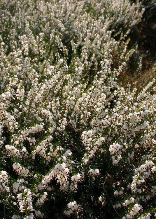 Winterblühende Heide 'White Perfection' / 'Isabell'