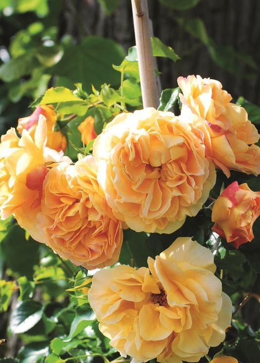 Zwerg-Kletterrose Starlet®-Rose 'Lizzy' ®