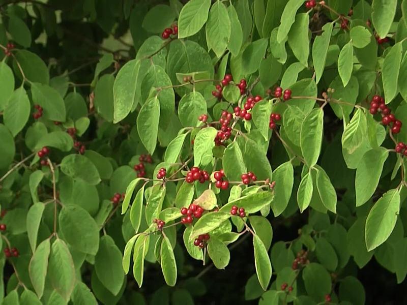 die Winterharte Berberitze Vögel lieben die roten Beeren.