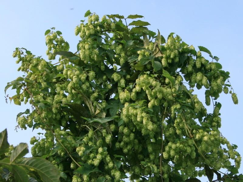 1000 Samen Echter Hopfen Humulus lupulus mehrjährig Fassadenbegrünung essbar