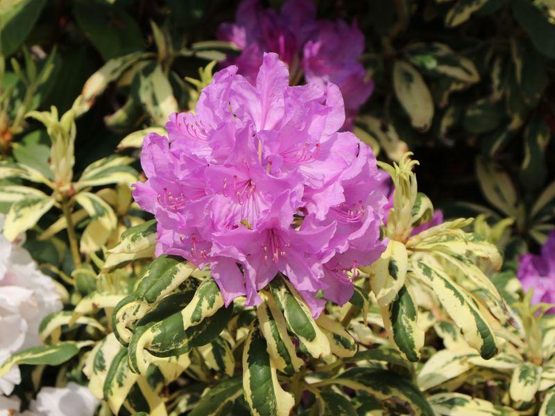 Sehr Rhododendron 'Goldflimmer' - Rhododendron Hybride 'Goldflimmer SC22