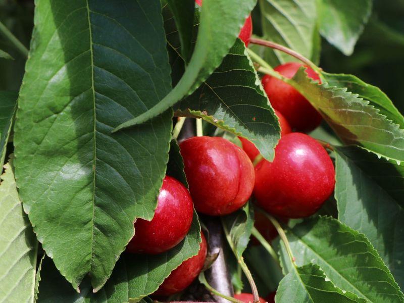 Lieblings Süßkirsche 'Stella Compact' ® als Ministämmchen - Prunus avium @BJ_24