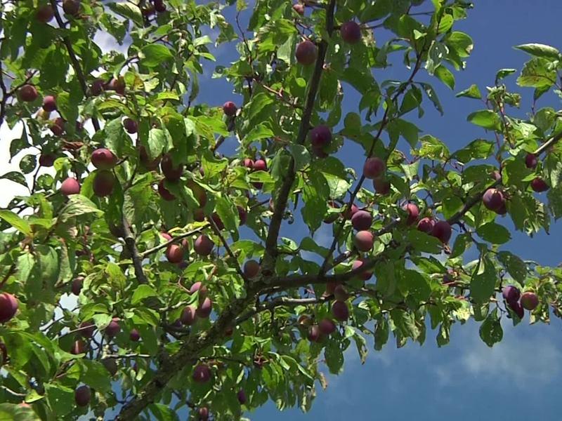 Gut bekannt Zwetsche 'Hauszwetsche' - Prunus 'Hauszwetsche' - Baumschule Horstmann CA92