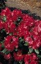 Rhododendron 'Frühlingsglühen' ®