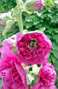 Gefülltblühende Stockrose violett