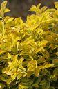 Spindelstrauch / Kriechspindel 'Emerald'n Gold'
