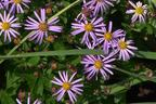 Videovorschau - Ageratum-ähnliche Aster 'Nanus' - Aster ageratoides var. adustus 'Nanus'