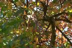 Videovorschau - Amberbaum - Liquidambar styraciflua