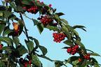 Videovorschau - Amselbrotbaum / Großblättrige od. Runzelige Strauchmispel - Cotoneaster bullatus