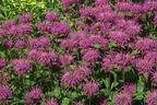 Videovorschau - Bergamotte Indianernessel - Monarda fistulosa var. menthifolia