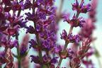 Videovorschau - Blüten-Salbei 'Ostfriesland' - Salvia nemorosa 'Ostfriesland'