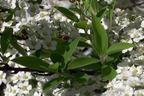 Videovorschau - Brautspiere / Schneespiere - Spiraea arguta