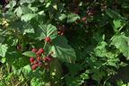 Videovorschau - Brombeere 'Black Satin' - Rubus fruticosus 'Black Satin'