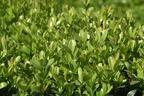 Videovorschau - Buchsbaum - Buxus sempervirens